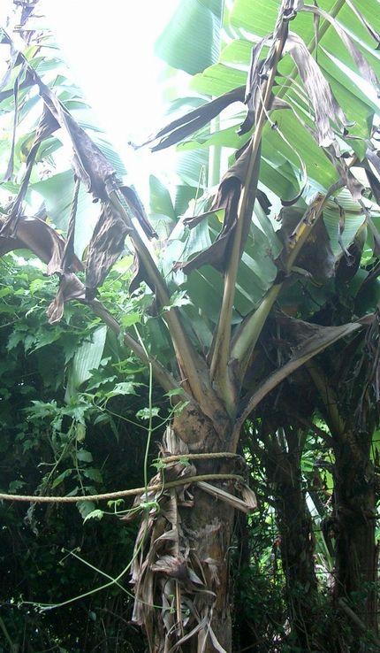 070404移植したバナナ.jpg