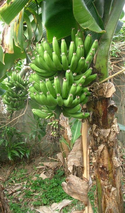 070404自宅バナナ園.jpg