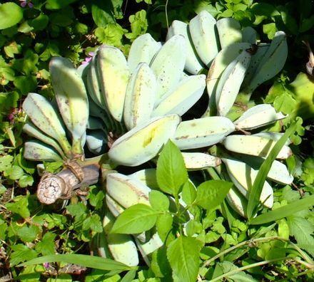 070420収穫後の調理バナナ.JPG