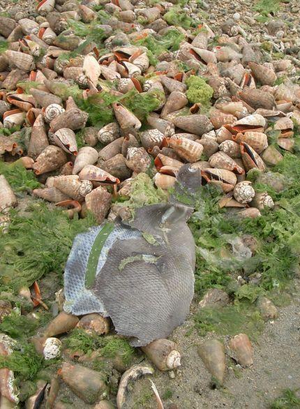 マガキガイの殻とカワハギっぽい魚の皮.jpg