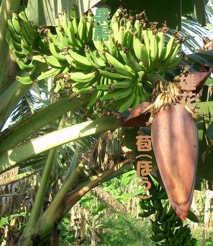8月3日バナナの房1.jpg