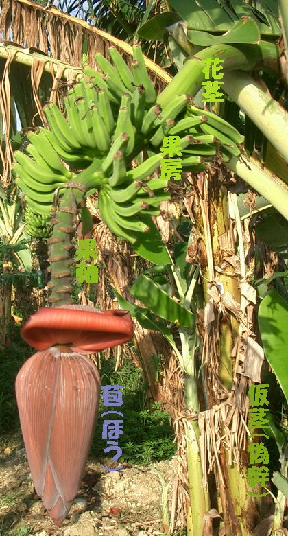 8月3日バナナの房2.jpg