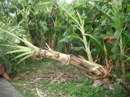 9月17日近所の大バナナ園.jpg