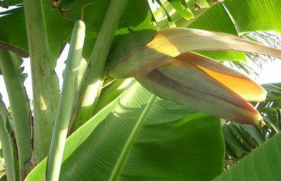 イスラエルバナナの開花.jpg