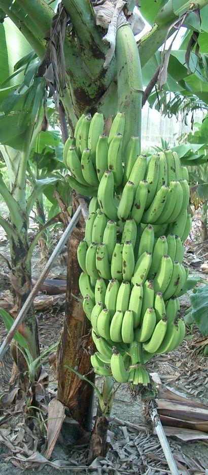 イスラエルバナナの生育中の果房2.jpg