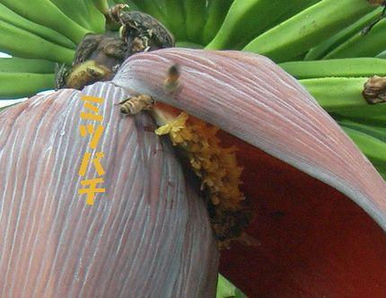 バナナの花とミツバチ2.jpg