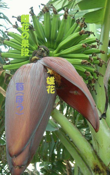 バナナの花とミツバチ3.jpg