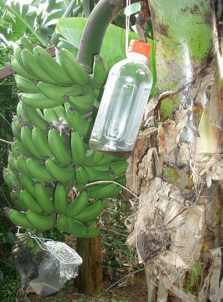収穫が近いボリビアバナナ.jpg