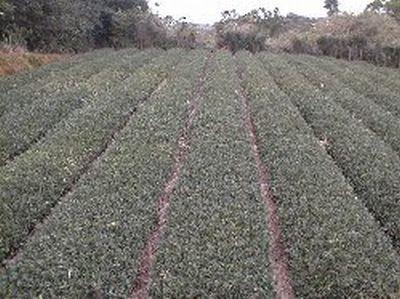 051004奥の茶畑.jpg