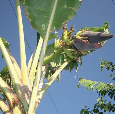 051222バナナの花・下から.jpg