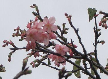 060124八重桜1.jpg