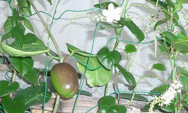 060208マダガスカルジャスミンの花.jpg