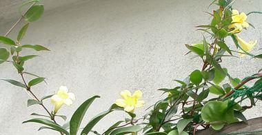 060208イエロージャスミンの花.jpg