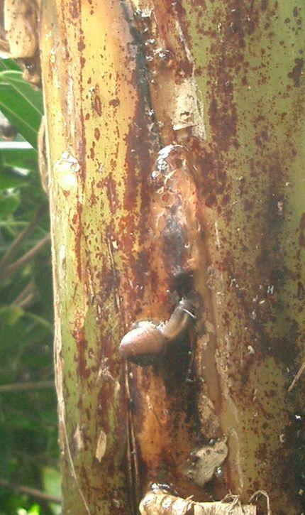 070331仮茎からしみ出した樹液?.jpg