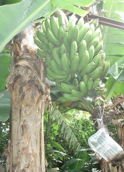 070404自宅バナナ園2.jpg