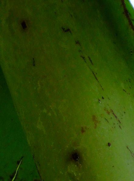070419バナナに穴が2.JPG