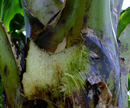 070419バナナの葉を切る.JPG