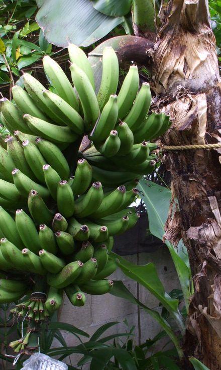 070503収穫したボリビアバナナ.JPG