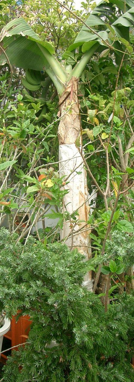 070507バナナの鉢栽培.jpg