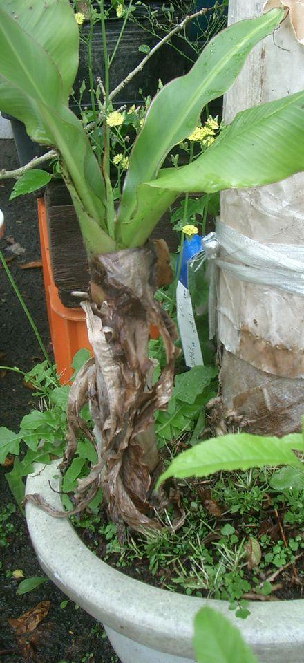 070507バナナの鉢栽培3.jpg