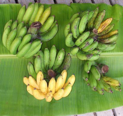 0803倒壊したバナナの完熟果房.JPG