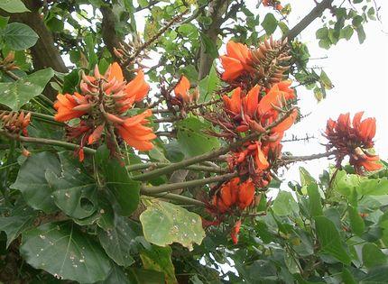 でいごの花2.jpg