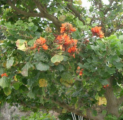 でいごの花3.jpg