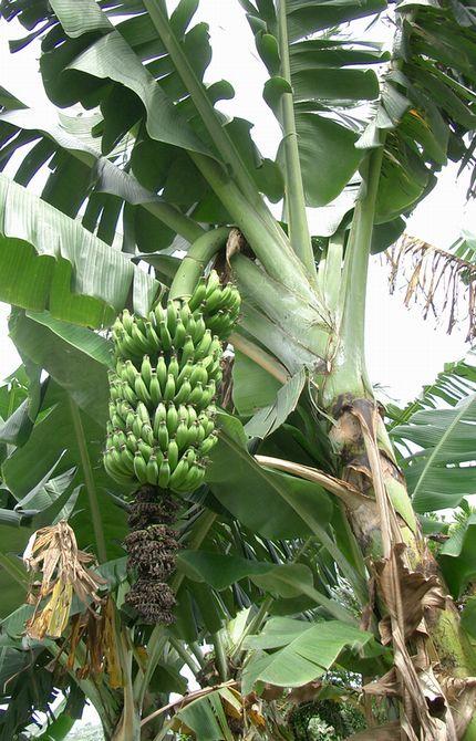 マーサン種バナナ.jpg
