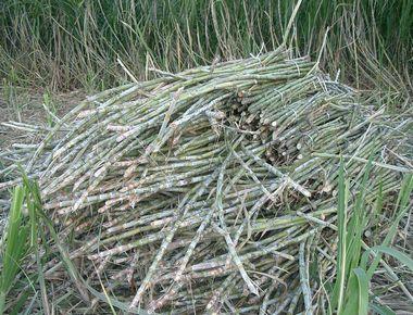 キビ収穫2.jpg
