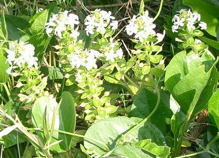 クサトベラの花.jpg