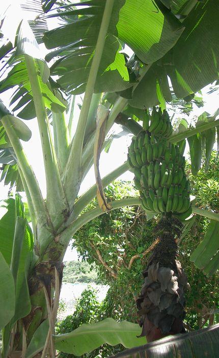 バナナの季節.jpg
