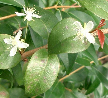 ピタンガの白い花.jpg
