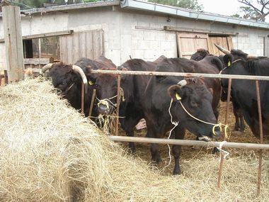 牛の飼育.jpg
