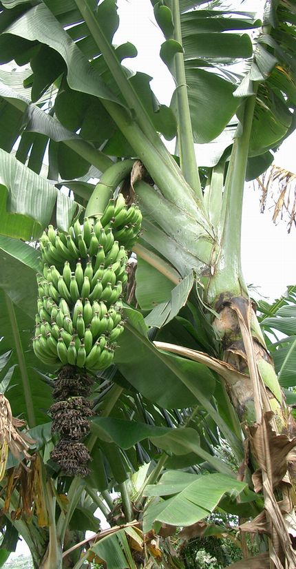 収穫を待つバナナー1.jpg