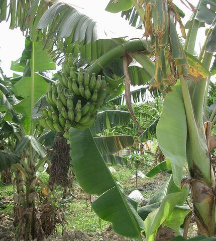 収穫を待つバナナ^3.jpg