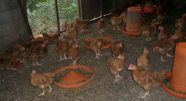 添加物一切なしのエサでタ験中の60日目の鶏.jpg