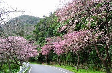 本部町の桜.jpg