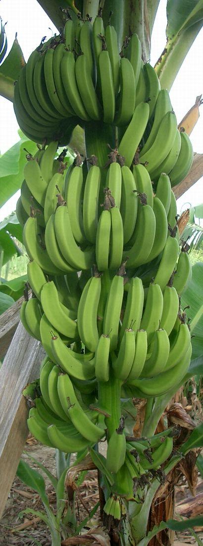 イスラエルバナナの生育中の果房.jpg