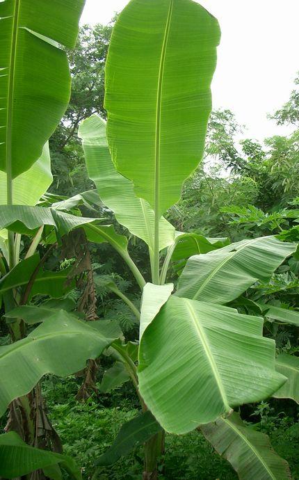 バナナの葉.jpg