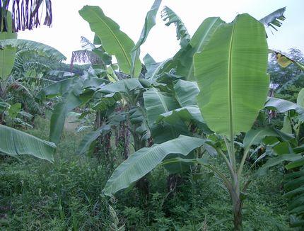 バナナの葉2.jpg
