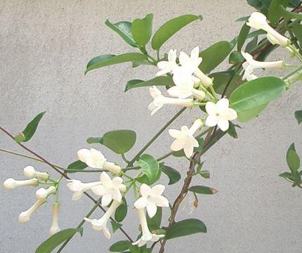 マダガスカルジャスミンの花.jpg