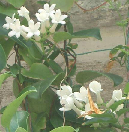 マダガスカルジャスミンの花2.jpg