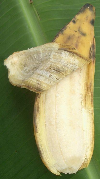 八重山バナナのヨーグルト・ミルクシェークの完成.jpg