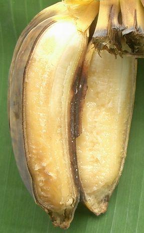 原寸大の完熟合掌バナナ.jpg