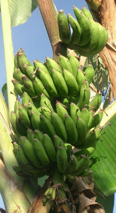 収穫期の近いイスラエルバナナ.jpg