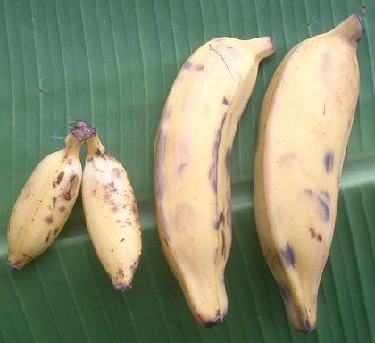 八重山バナナと島バナナ.jpg
